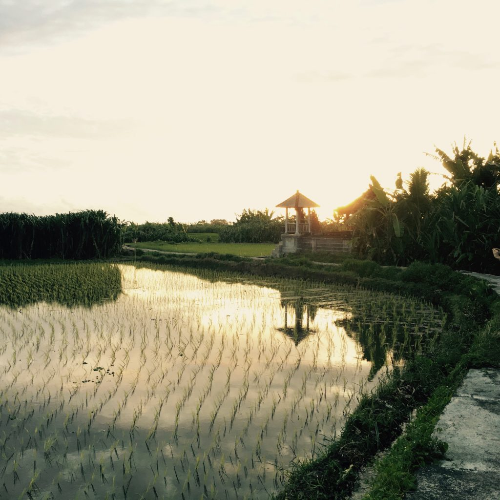 Bali backyard rice fields